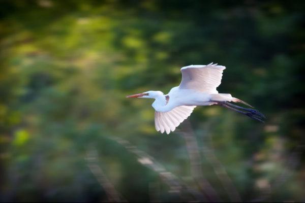 04 26 Egret