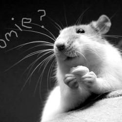 Rat roommate