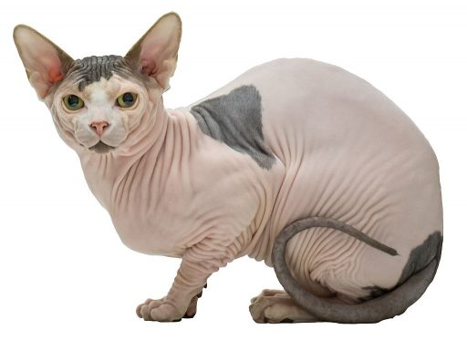 Sphynx cats might look sweet and cuddly - or not - but they tend to prefer a higher activity level and may not be ideal for apartment dwellers.