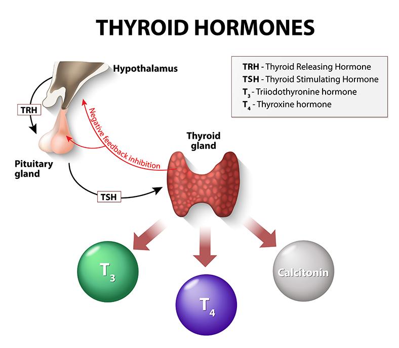 thyroid gland renue health