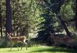 Deer_thumb