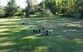 Free_rang_chicken_at_backyard_thumb