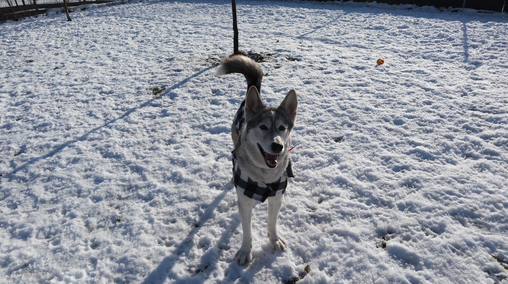 Echo, a husky at the Saint John SPCA Animal Rescue, was happy with her new winter coat on, according to Joan Richardson, shelter manager. A group of students with Simonds High School donated coats to the SPCA as part of a class project.