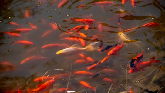 Hundreds of goldfish in a man-made pond in Odell Park have the city worried.