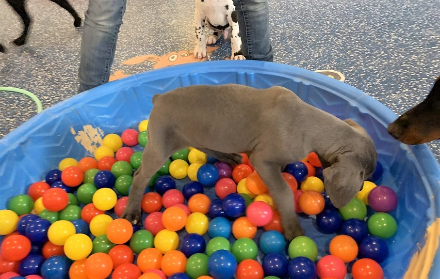 This puppy explores a box of balls as part of a special program developed by Paw & Order, a dog daycare centre in Keswick Ridge, northwest of Fredericton, designed to teach 'COVID puppies' socializing skills.