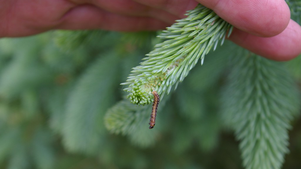 A program to control hot spots of Spruce budworm in New Brunswick seems to be working, said scientists taking part in an online presentation of the Healthy Forest Partnership on Friday.