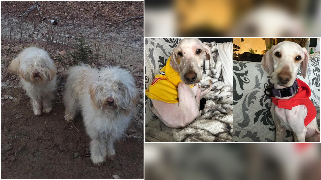 Left: A group of concerned animal lovers helped rescue two badly matted dogs that had been dumped in the woods outside Miramichi. Right: Two-year-old Eithneand one-year-old Aspen are pictured after receiving some TLC in their new home.