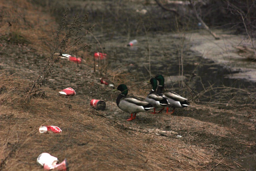 A trio of mallard ducks look around at the trash surrounding them while searching for some water to swim in the Chatham Industrial Park in this file photo. The Point Church is encouraging people to pick up litter around Miramichi this week as part of its annual Team Up 2 Clean Up initiative.