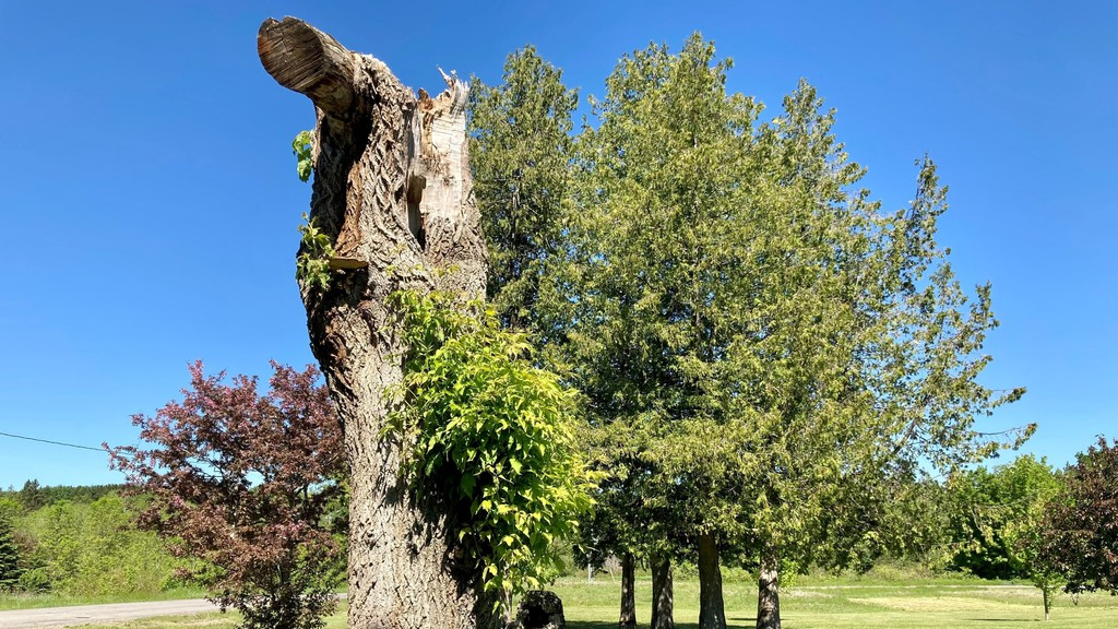The stump of a once-mighty maple in the park at the Perth-Andover community bandstand will be transformed into a sculpture by chain saw artist Joel Palmer of Swamp Bear Art starting June 7, weather permitting.