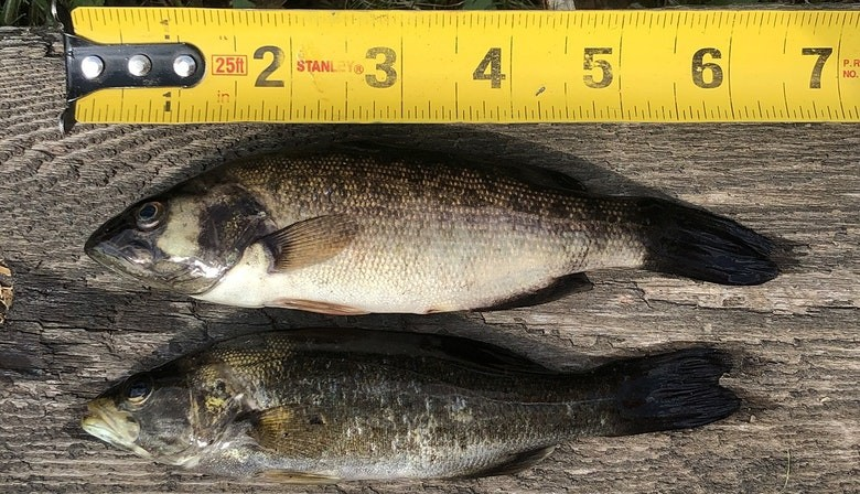 The Working Group on Smallmouth Bass Eradication in the Miramichi's proposal to wipe out invasive smallmouths in Miramichi Lake, Lake Brook, and part of the Southwest Miramichi River has been released from further environmental study requirements by the New Brunswick government.