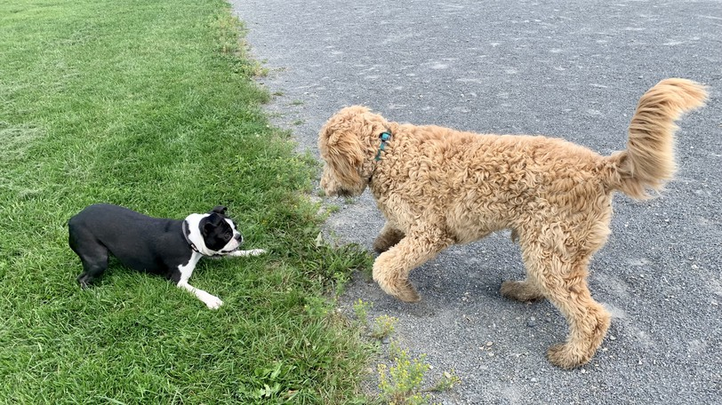 A Boston terrier named Marner and goldendoodle named Rigby get some play time at the Woodstock Dog Park. Florenceville-Bristol council has decided to explore the possibility of having a dog park for its residents.