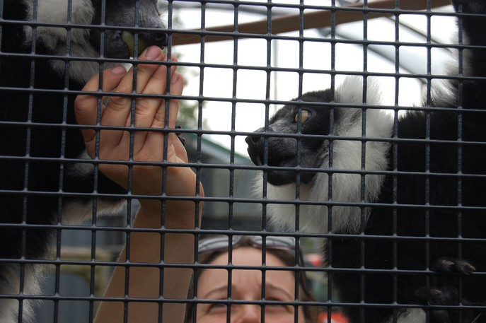 Melanie Prince, a zookeeper at the Magnetic Hill Zoo, feeds grapes to black-and-white ruffed lemurs clambering on the mesh fencing of their enclosure on Friday morning. A proposed expansion of the zoo would create a new building and indoor exhibits for the critters.