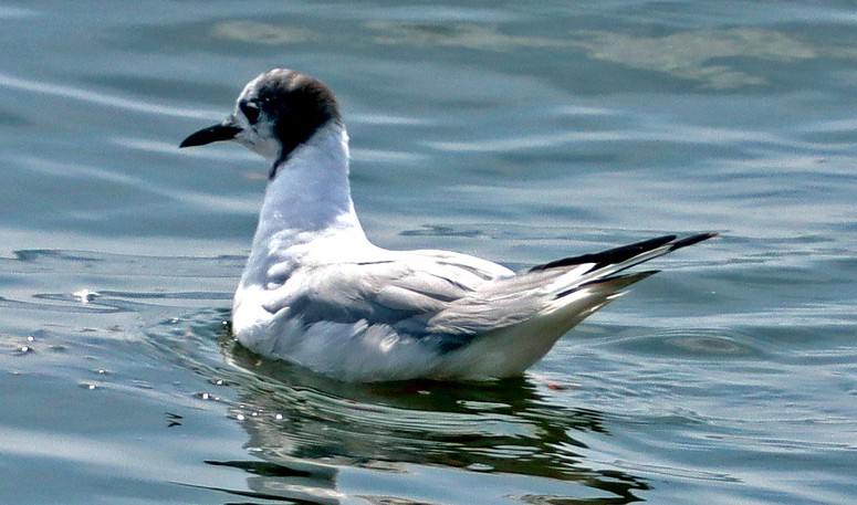 On August 13th, I was at the Green's Point Lighthouse where I spotted what appears to be a black-headed gull as well as a male loon. – SHERRY MERRILL MacKILLOP, Saint Andrews  Shelly was very close with her identification. This small gull with the black head is actually a close relative of the Black-headed Gull – it's a Bonaparte's Gull. The Black-headed is a very uncommon wanderer from Europe with a dark brown head and dark red beak. Bonaparte's Gull breeds in the boreal forests from Ontario to Alaska in spring and early summer. Immediately after the nesting period thousands of these small gulls head straight for the Maritimes and many feed in the upwellings created by the strong tides of the Bay of Fundy and Passamaquoddy Bay. As we can see in Shelly's photo, they quickly molt away their black head feathers and look similar to other small gull species that mass offshore until December, at which point they head south to warmer waters. – JIM WILSON