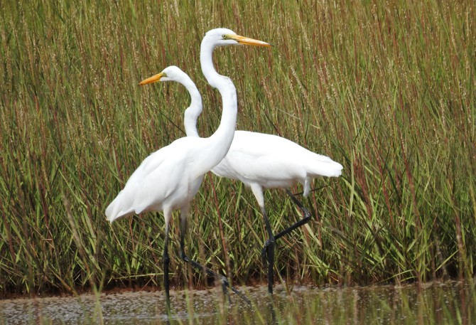 Over the past week I've seen 4 or 5 great egrets on the Manawagonish Salt Marsh. During the second week of August I enjoyed watching this pair for the better part of an hour. They seemed inseparable. When one would fly to another area, the other was right behind. It was an amazing experience. I've spent a lot of time on the salt marsh over the past couple of decades and am surprised that this is my first serious sighting of this magnificent bird. I'd be interested in learning more about its range and whether it is extending further north as the climate warms. Thank you for this information and any other key points about the great egret's presence in the Bay of Fundy area. – NANCY HAMILTON, Saint John west  Nancy got some really nice images of what could be a prospecting pair of great egrets. This and other species of the heron family regularly make post-breeding flights north of their breeding range in our late summer and fall. Hard to tell how far they've come but this is how species gradually extend their ranges by exploring and possibly returning the following spring. This summer has seen the largest single accumulation of great egrets in one place in New Brunswick that I know of to date – I believe seven have been feeding in the Saint's Rest Marsh at Saint John in recent weeks. Great egrets nest as close to us as southern Quebec and southern Maine, where a colony has been nesting since 1994. We may see great egrets attempt to nest in southern New Brunswick in the not too distant future. – JIM WILSON