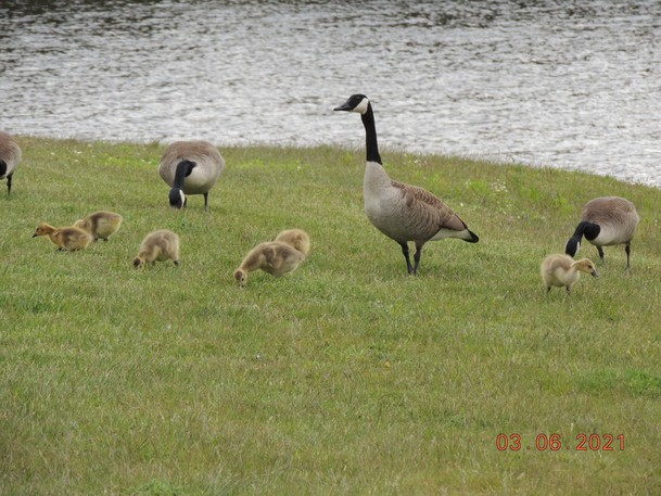 Canada geese have made a home of various locations in the city such as Rockwood Park, Little River Reservoir and the front lawn of Parkland Saint John.