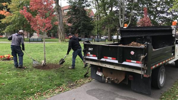 Crews planted seven maple trees in King's Square on Wednesday.