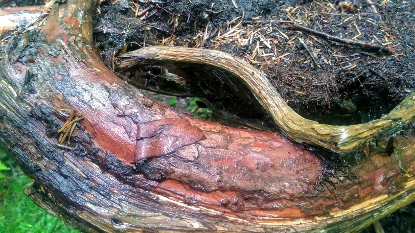 Sculpted by Mother Nature: the tree roots that gave me shelter from the rain.
