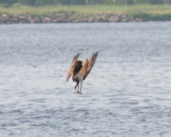 """I saw a couple of weeks ago you had referenced the osprey's talents. I was fortunate enough a few years ago to capture one at Foch Bridge in Shediac that was fishing and thought you might be interested seeing this. It was truly amazing to watch. I enjoy the weekly sightings page. – PETER SCRIBNER  Peter got a nice action shot of this osprey about to make a dive for its dinner. Ospreys feed almost exclusively on fish that they catch themselves and must migrate south well before winter ice arrives. Most are gone by late October. In Peter's photo we see how the bird focuses intently on its underwater target and brings its open talons very close to its eyes, for accuracy. Diving ospreys have to allow for light refraction at the water's surface as objects below the water aren't exactly where they appear from above the surface. Push a stick into the water to get a sense of this – it appears to """"bend"""" at the surface. Young ospreys somehow learn to compensate for the effects of refraction as they develop their fishing skills. – JIM WILSON"""