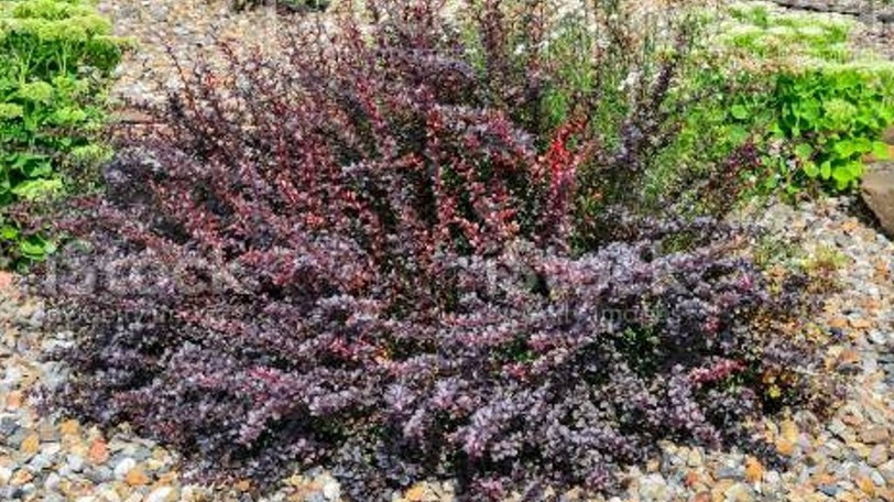 Japanese barberry is a bush that can 'hop out' of gardens and into natural forested areas, she said, and there have been about 20 sightings of the plant in Saint Andrews, making it a hotspot.