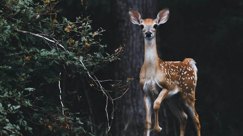 This year, the deer donation program will distribute up to 450 pounds of ground venison and stew meat via a food bank.