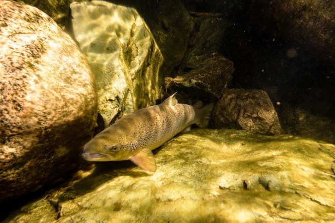 Fundy National Park is seeing record numbers of endangered Atlantic Salmon returning to its rivers.