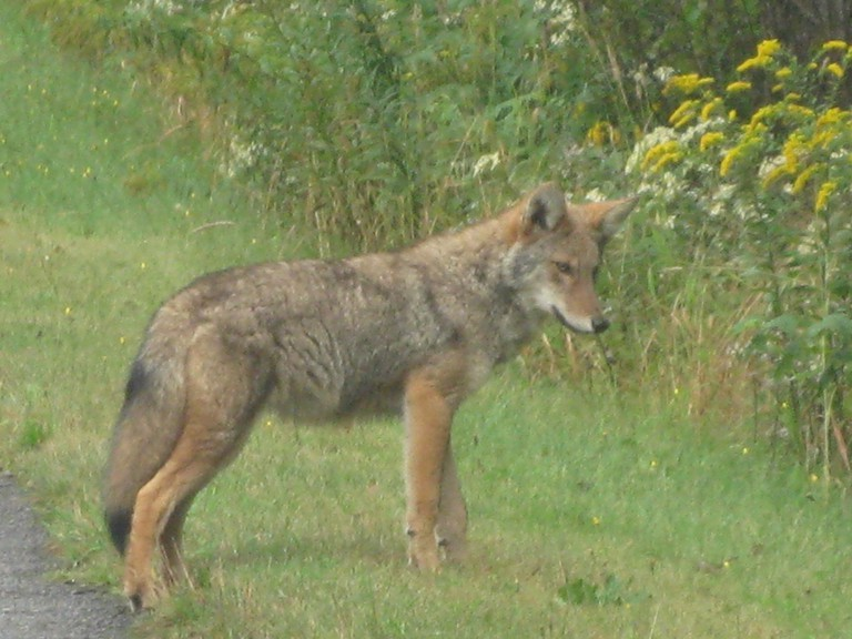 An Eastern coyote is shown in this file photo.
