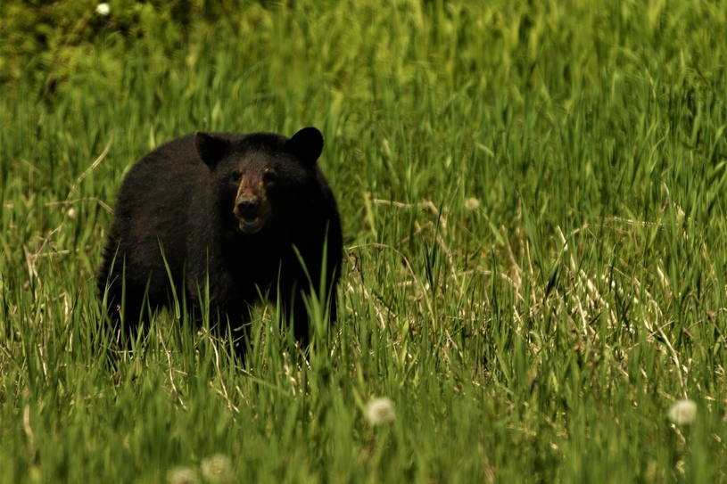 Woodstock police posted social media warning about bears roaming town streets over the past week. Town police say the Department of Natural Resources and Energy Development have set traps to relocate the bears.