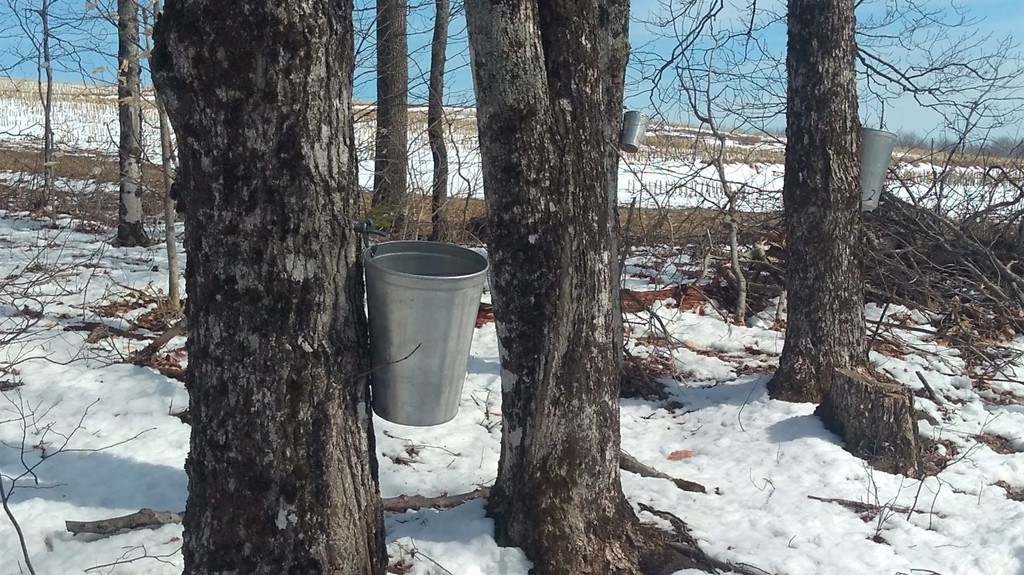 Maple sap is seen being collected for maple syrup production in this file photo. In this week's column David Henderson brings back a Kings County Record story from 1951 about a Drury Cove man's experience making maple products with his father.