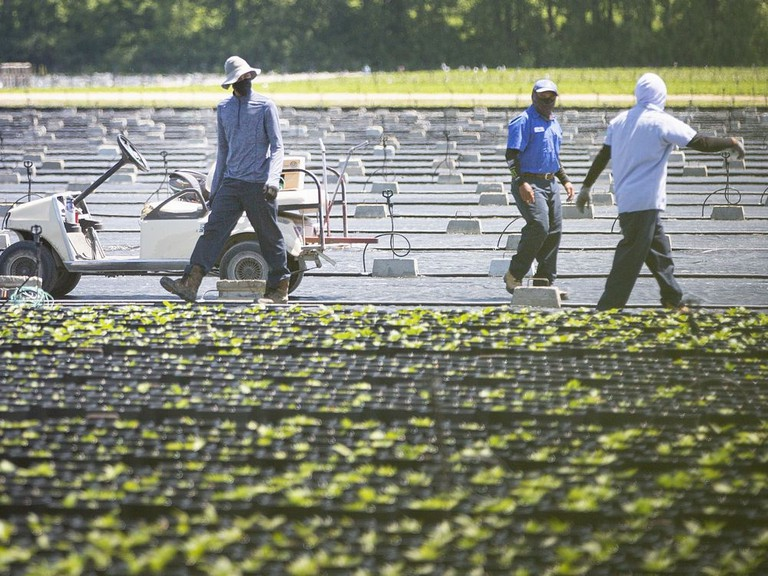 Migrant workers work in the fields on a farm in Kingsville, Ont., on Wednesday, June 17, 2020.