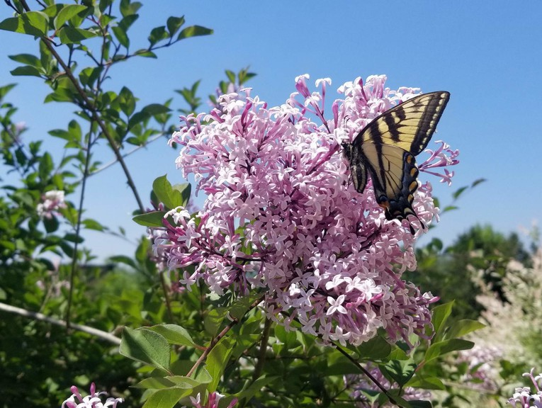 A tiger swallowtail butterfly visited the 'Bloomerang' standard lilac, Duncan Kelbaugh writes.