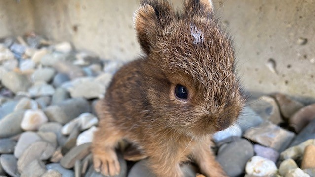 A rabbit rescue was staged at Victoria Glen Manor in Perth-Andover when two little babies were found up against the building on one of the hottest days of the year so far.