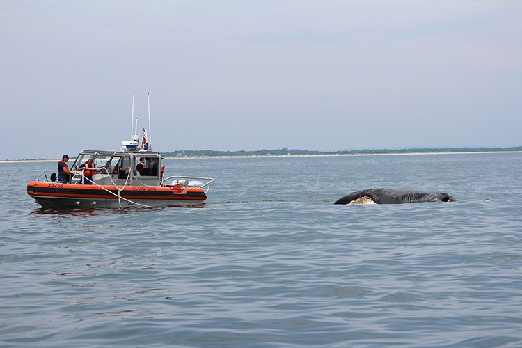 U.S. coast guard officials and right whale experts tow the body of a dead right whale calf to shore for a necropsy earlier this week. Preliminary results show the months-old calf had been twice injuried by collisions with vessels, with the second collision likely a fatal blow.