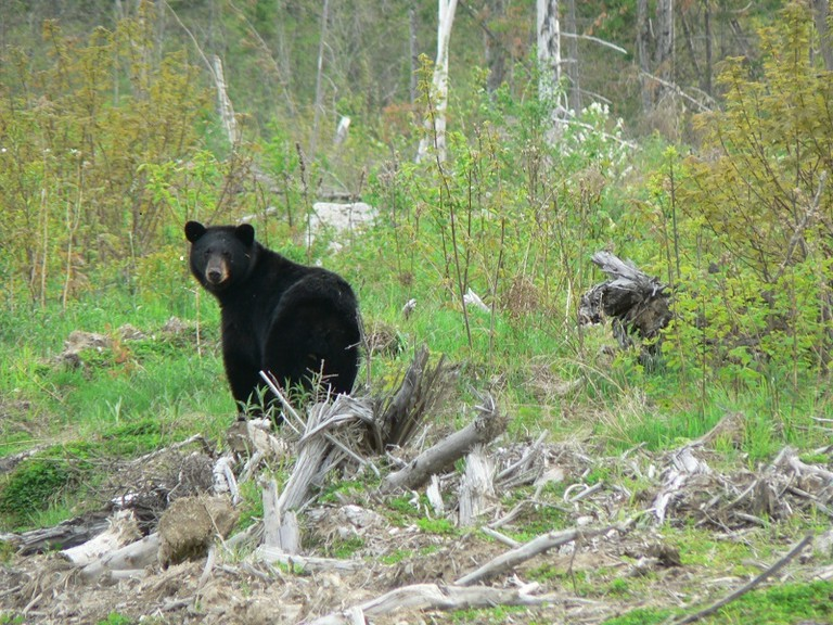 There has been an increase in reported bear sightings across the province in 2020,including in the Miramichi region, according to Natural Resources and Energy Development Minister Mike Holland, who noted the bear population in New Brunswick has been on the rise for some time.