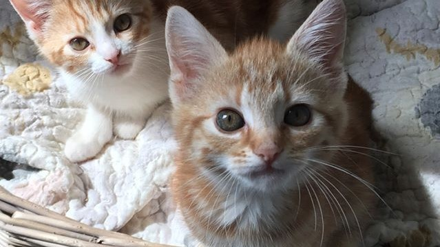 Too many kittens for too few homes is a common problem for the Victoria County SPCA. It is offering a spay/neuter assistance program to families who struggle with the cost of the procedure.