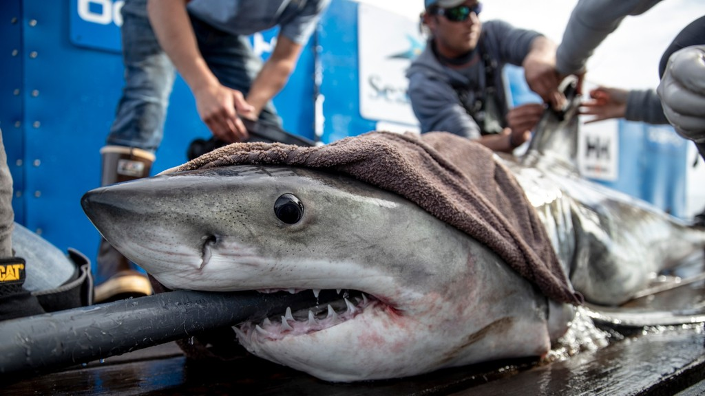 Brunswick the white shark is back off the coast of New Brunswick according to OCEARCH, a non-profit organization that researches great white sharks.