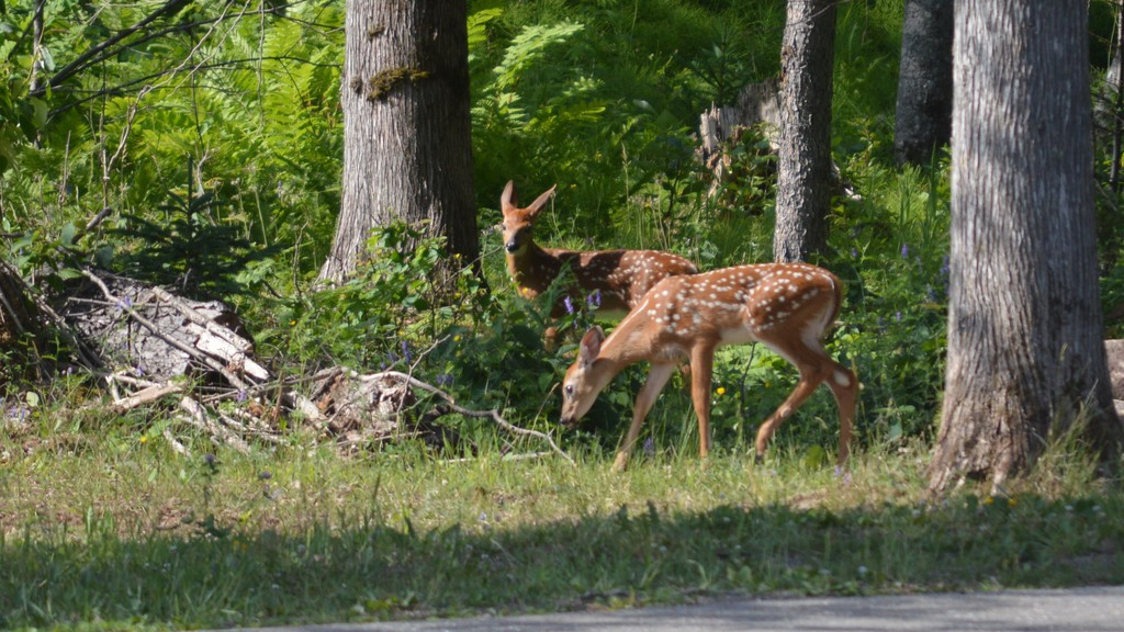 Twin fawns browsing the greenery with their mom in the Plaster Rock Tourist Park recently. White-tailed deer are often seen by walkers on the Sadler Nature Trail located in the park.