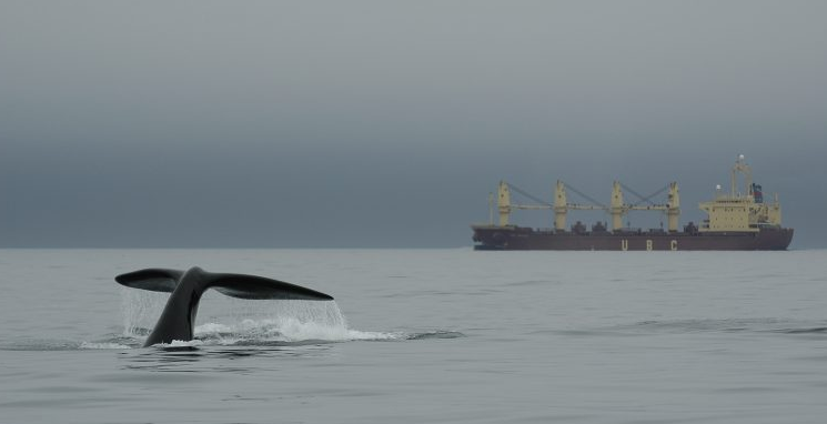 Nine-month-old right whale calf dives in the Bay of Fundy in this Sept. 10, 2007 photo.