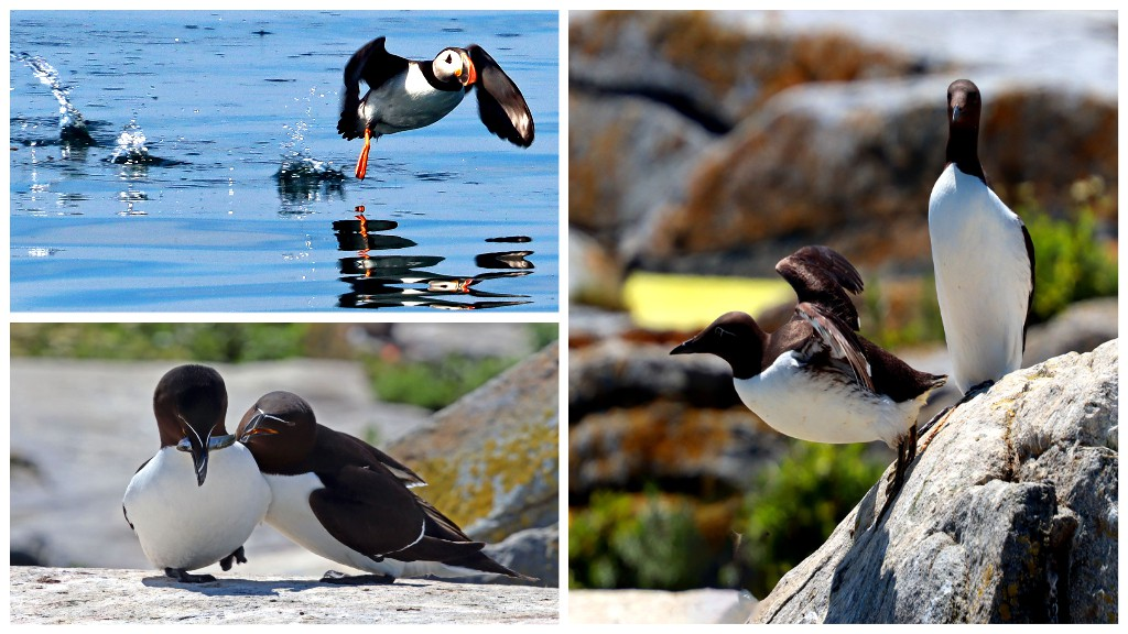 On July 16th my husband and I went to Machias Seal Island on the pelagic bird tour. It was a beautiful day and an experience that I would recommend top everyone. Clockwise from right: We saw Common Murres, Razorbills and of course a puffin. - SHELLY MERRILL-MacKILLOP   A visit to Machias Seal Island south of Grand Manan should be on everyone's bucket list. It's a bird sanctuary overseen by the Canadian Wildlife Service and very special because up to 15 Canadian visitors can land and view the birds each day. Normally such seabird breeding colonies are off-limits to visitors. The birds are very tame and photogenic and it's a unique place to visit. - JIM WILSON