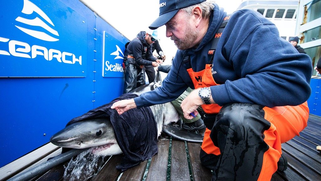 Bob Hueter, the chief scientist for Ocearch, examining a white shark on a trip to Nova Scotia waters.