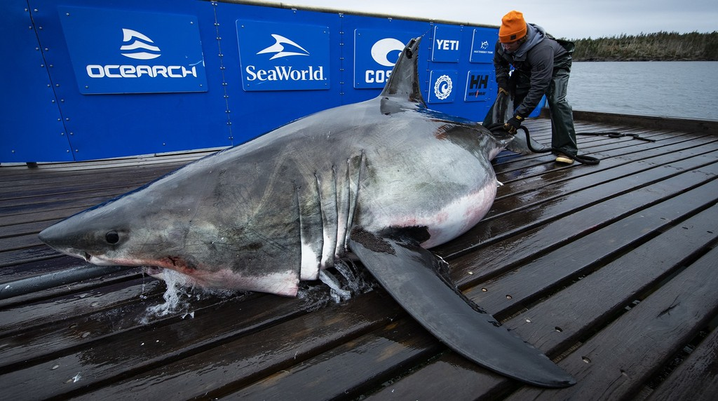 Ocearch has tagged 56 white sharks, said Ocearch chief scientist Bob Hueter.