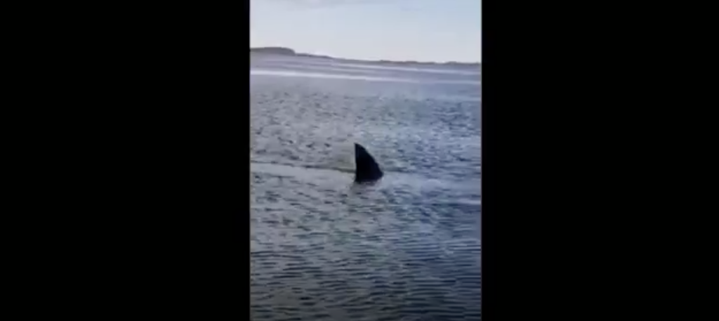 Kelly Pendleton and her husband, Kinsley, saw what they believe to be a white shark while boating near Saint Andrews.