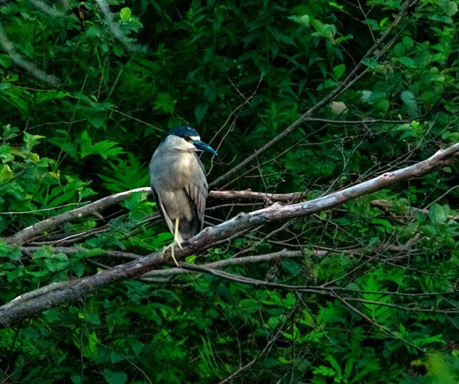 This is not the best quality photo as it was taken at dusk, but I believe it to be a black-crowned night heron, a first for me, taken in Baxters Corner, N.B. on July 22. – JANET CYR  Janet is right on, this is an adult black-crowned night heron, a bird that's widespread but not common in New Brunswick. The species is normally quite true to its name in the southern part of the province, usually feeding in the open between dusk and dawn and often rather wary. Curiously though, the population in the north of the province, particularly on the Acadian Peninsula tends to feed much more during the daytime and the birds are sometimes quite tame. Black-crowned night herons in the south are likely more common than we know because of their nocturnal habits. – JIM WILSON