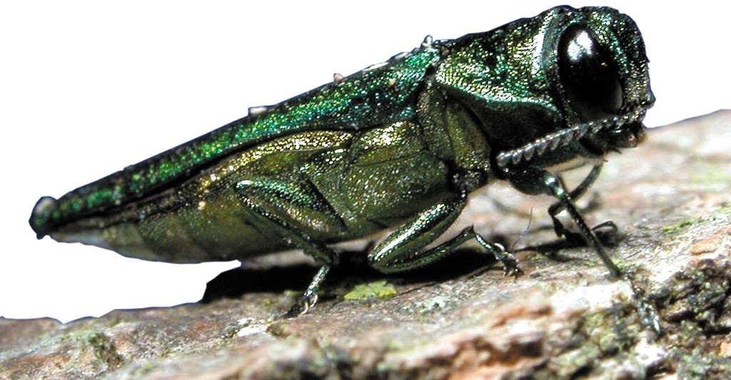 The emerald ash borer has been discovered in Fredericton.