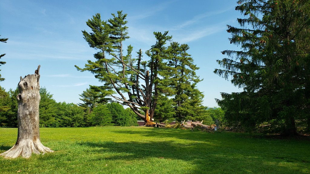 The remains of the beloved broccoli tree in Odell Park, damaged in a June windstorm, will be turned into a piece of public art.