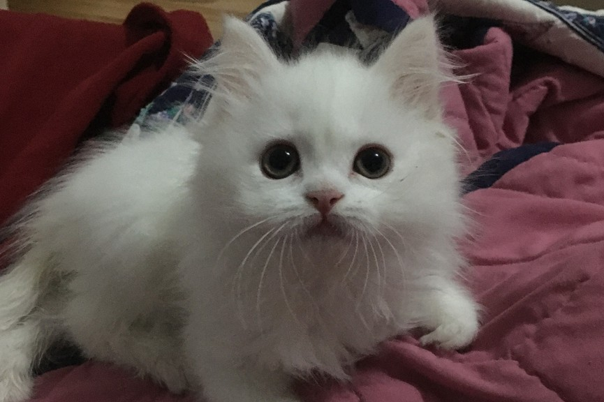 Mayvit is a fluffy white kitten with complex health care needs. To help cover the cost, the Victoria County SPCA has launched a 'Yelp for help' campaign and is asking for donations.