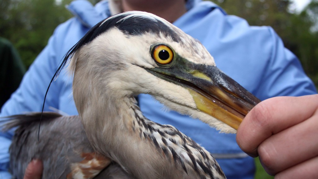 Harper the Heron, who made a long migration non-stop migration flight from Saint John to Florida last year, was tracked making an even more epic migration flight from the Baie des Chaleurs far out over the open ocean and then to southern Georgia this year. The female great blue heron is being tracked by researchers in Maine.