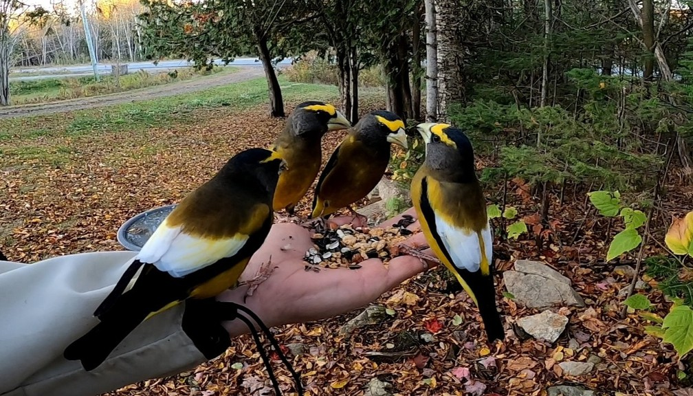 Ewan Dobson likes to feed birds like these Evening Grosbeaks from his hand. Project FeederWatch is asking Canadians to take advantage of the quarantine and count birds that visit their feeders.