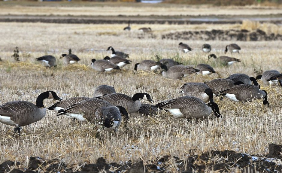 Elected officials and city staff have been contacted over the last several months about the problem of too many geese and are planning to add 'geese management' to their growing list of 2021 budget considerations. Geese are seen in this file photo.