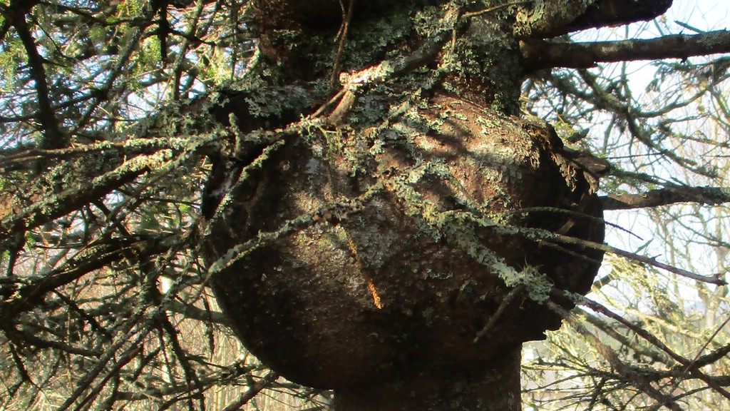 A tree burl is pictured here at the Irving Nature Park. Writer David Goss says it's one of nature's wonders you can see on a walk in this month.
