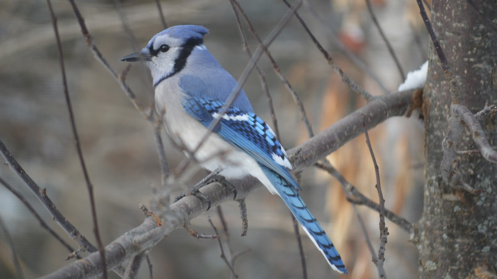 The Christmas Bird Count, the longest-running citizen science program in North America, will take place from Dec. 14 to Jan. 5. Counts in each 24-km diameter circle are carried out on one day by volunteers.